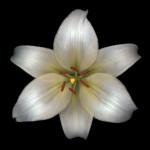 White Flower Print