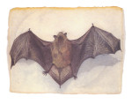 Little Brown Bat Print