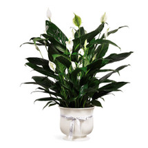 "Offer unspoken words of hope and peace with our comfort planter that holds an elegant white lily. The simple yet beautiful flower arrangement is accented with dark green leaves and delivered in a white ceramic planter that has a white ribbon bearing the word ""comfort."" This is a wonderful arrangement to send as a silent expression of your deepest sympathies."