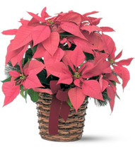 Nothing says Christmas like a poinsettia! A unique twist on the traditional Christmas plant, send this Lovely Pink Poinsettia as a holiday gift - or keep it for yourself as Christmas decor!
