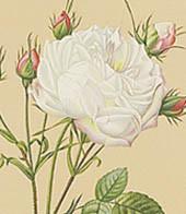 Rose Centifolia G. Frame Authentic Models