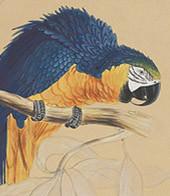 Blue Parrot Authentic Models