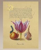 Hoefnagel Pink Tulip Authentic Models