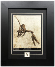 Velociraptor framed photo with fossil fragment by Century Concept