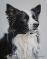 Border Collie by Marc Mitchard
