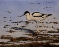 Avocet by Paul Apps