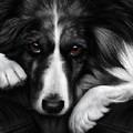 Border Collie - Dog Tired by Nigel Hemming