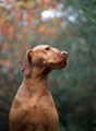 Pet Portrait Photography Sample of a Vizsla by Eloise Leyden