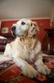 Pet Portrait Photography Sample of a Golden Retreiver by Eloise Leyden
