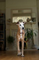 Pet Portrait Photography Sample of a Long Dog by Eloise Leyden