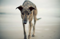 Pet Portrait Photography Sample of a Greyhound by Eloise Leyden