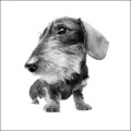 Wirehaired Dachshund Photograph by Chris Pethick Pet Portrait Photographer