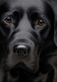 Larger Than Life Black Lab III by Nigel Hemming