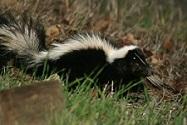 skunk3.jpg