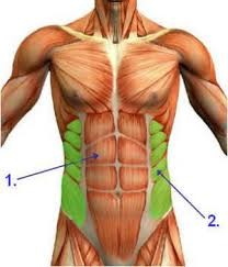 Human torso depicting muscles; highlighting the obliques (also known as Musculus Obliquus Externus Abdominis)