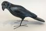 raven-small.jpg