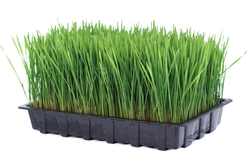 wheat-grass-tray.jpg