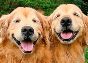two golden retrievers birthday card
