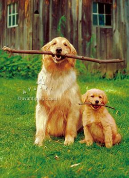 greeting card, father's day, dogs, holding sticks, golden retriever