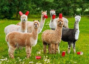 six paca (alpaca)birthday card