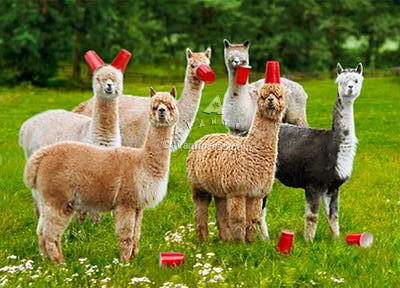 six paca (alpaca)birthday card