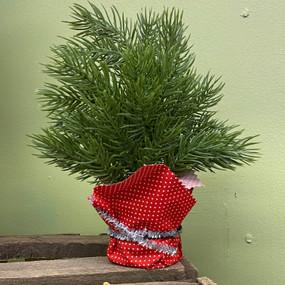 balsam fir tree in black pot