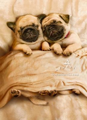 pug puppies valentine's day