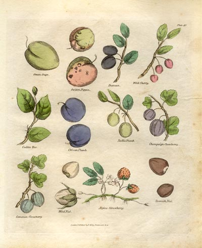 Botanical Antique Prints for Sale Online