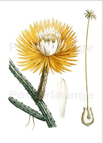 The Queen's Selenicereus grandiflorus