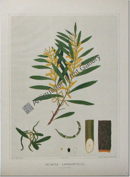 """South Australian Flora, Acacia longifolia, antique chromolithograph after Rosa Fiveash, printed in Adelaide by the Government Printer for John Edne Brown's """"Forest Flora of South Australia""""."""