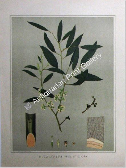 "South Australian Flora, Eucalypt Hemiphloia, antique chromolithograph, Fiveash & Barrett, printed in Adelaide by the Government Printer for John Edne Brown's ""Forest Flora of South Australia""."