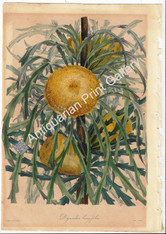 Australian Dyrandra longifolia Banksia Paxton Original Antique Print