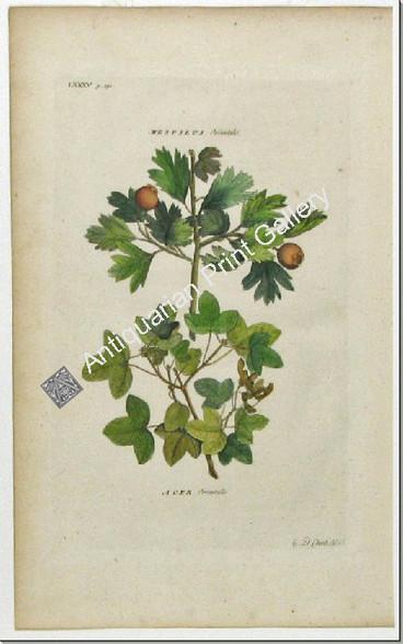 Trees Ehret orientalis Original Antique Print