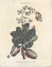 Fruit Cashew Brazil 1796 Original Antique Print