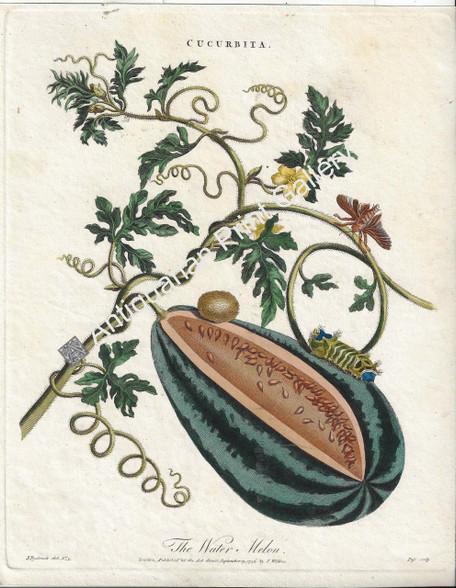 Botany Fruit Cucurbita or Water Melon Africa Antique copper-plate engraving by J. Pass after German artist J. Rysbrack  Encyclopaedia Londinensis Published by J. Wilkes, London 1796