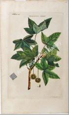 Trees Ehret Plantanus orientalis c1745 Original Antique Print