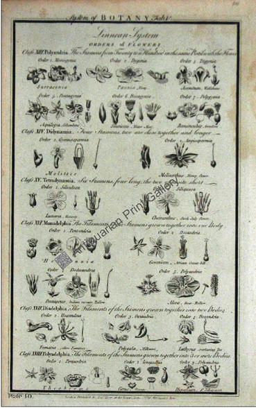Botany flowers 1788 hogg 5 Original Antique Print