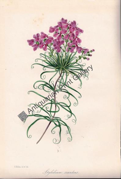 Botany Flowers Stylidium sandens Lithograph 1848 Holden Original Antique Print