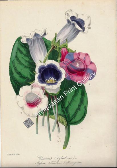 Botany Flowers Gloxinias Lithograph 1848 Holden Original Antique Print