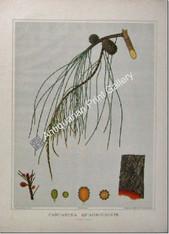 Botany Australian Casuarina Quadrivalvis SA 1882 chromolithograph Original Antique Print