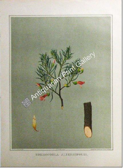 Botany Australian Eremophila alternatfolia SA 1882 chromolithograph Original Antique Print