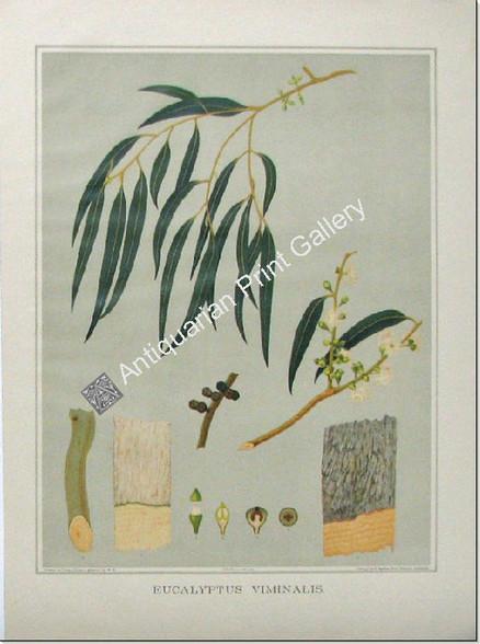 Botany Australian Eucalyptus viminalis SA 1882 chromolithograph Original Antique Print