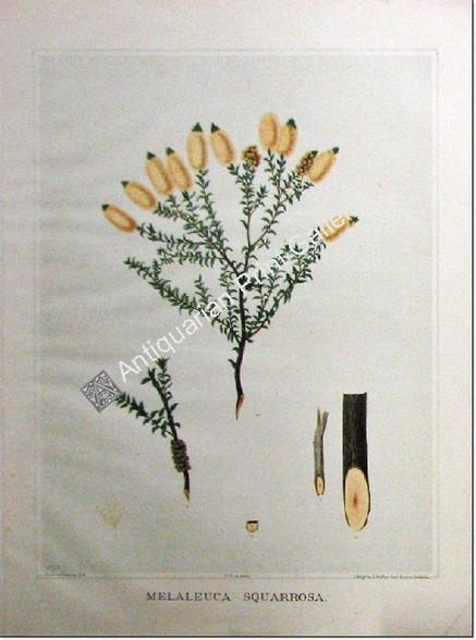 Botany Australian Eucalyptus squarrosa SA 1882 chromolithograph Original Antique Print