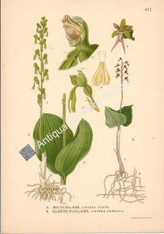 Orchid Listera Ovata Australian 1900 Lindman Antique Print