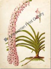 Orchid Saccolabium Blumie Russelianum Australian 1900 Lindman Antique Print