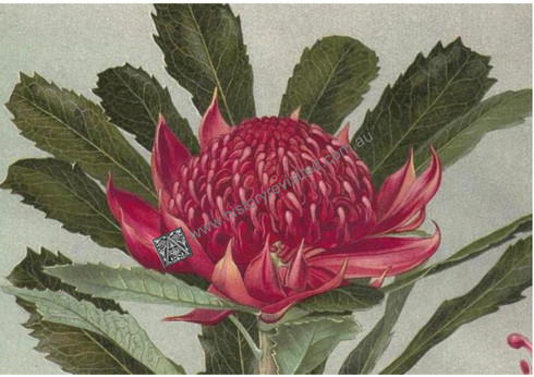 "Described as a ""strikingly handsome flower"" it was recorded in 1793 that the ""natives made an agreeable repast by sucking the flowers, which abound with honey""."