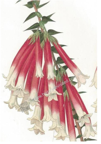 Maiden notes  in Curtis Botanical Magazine, 'This beautiful Epacris was sent to us  in blossom in May, 1806...""