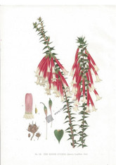 Botany, Antique print, Native Fushia, Antique print, chromolithograph , J.H. Maiden, NSW, www.historyrevisited.com.au
