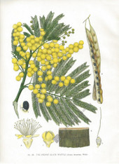 Botanical, Australia, The Sydney Black Wattle, Acacia decurrens, NSW, J.H. Maiden Antique Print.