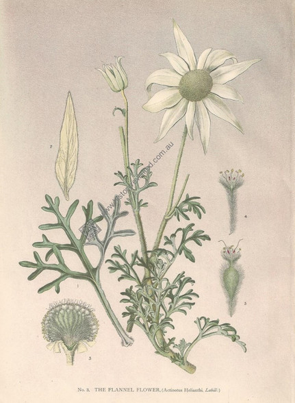 Australian Botanical, Flannel Flower, Actinotus Helianthi, J.H. Matters, Antique  Print, New South Wales c1895